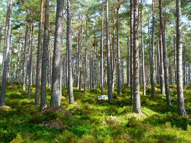 smrkový les